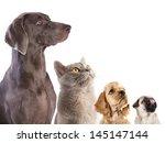Stock photo cocker spaniel puppy and british cat 145147144