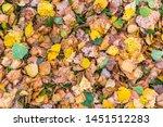 Yellow Leaves Fallen From Birc...