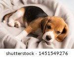 Stock photo cute beagle puppy is lying on a gray cloth with the morning sun 1451549276