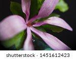 Stock photo magnolia flower on a black background magnolia petals with dewy petals dew drops on a magnolia 1451612423