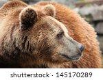 Ursus Arctos Bear Portrait...