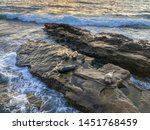 sea lions   seals napping on a... | Shutterstock . vector #1451768459