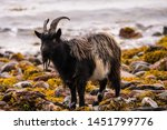 Feral Goat Near To Fort Willia...