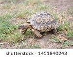 Stock photo nice turtle on the walk through the garden leopard tortoise stigmochelys pardalis 1451840243
