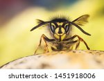 Common wasp  wasp  vespula...