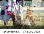 Stock photo rabbits in rabbit island hiroshima japan 1451926436