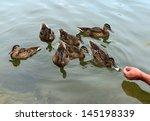 A Man Feeds Wild Ducks On The...