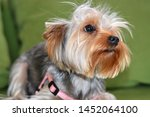 Stock photo puppy of the yorkshire terrier the dog is lying on a green sofa a large puppy portrait a puppy 1452064100
