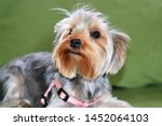 Stock photo puppy of the yorkshire terrier the dog is lying on a green sofa a large puppy portrait a puppy 1452064103
