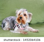Stock photo puppy of the yorkshire terrier the dog is lying on a green sofa a large puppy portrait a puppy 1452064106