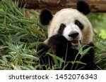Photo of giant panda  the giant ...