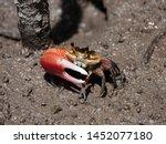 Colorful Fiddler Crab Emerging...