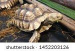 Stock photo african spurred tortoise sulcata tortoise 1452203126