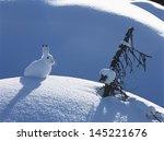 Stock photo arctic hare 145221676