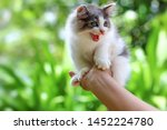 Stock photo beautiful kitten on the palm asian woman is stroking a small kitten 1452224780