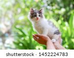 Stock photo beautiful kitten on the palm asian woman is stroking a small kitten 1452224783
