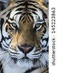 Tiger Close Up Of Face