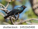 red shouldered glossy starling  ... | Shutterstock . vector #1452265400