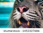 Close Shot Of Bengal Tiger And...