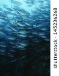 Small photo of Raja Ampat Indonesia Pacific Ocean School of elongate surgeonfish (Acanthurus mata) feeding on plankton