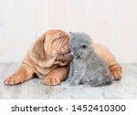Stock photo mastiff puppy kissing kitten on the floor at home 1452410300