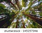 Redwood Trees In Muir Woods  Ca.
