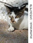 Castrated Wild Cat Enjoying Th...