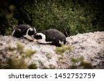 Two African Penguins Sleeping...