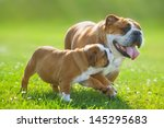 Stock photo cute happy english bulldog puppy following its mother 145295683
