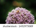 Bee In A Purple Leek Flower...