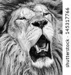 African Lion Roaring Portrait...