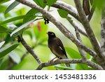 Common Myna Bird On A Tree...