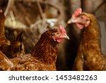 Hens In Hen House. Hens In Bio...