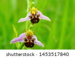 Two Wild Bee Orchid  Ophrys...