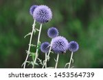 Thistle Flowers Photographed I...