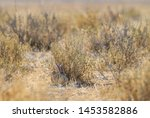 Stock photo scrub hare lepus saxatilis shy hare from african savannas and grasslands etosha national park 1453582886