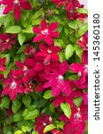 Bright Red Clematis