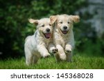 Two Happy Running Puppies Of...