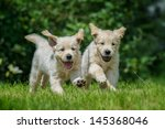 Stock photo two happy running puppies of golden retriever 145368046