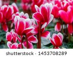 Bright Pink And White Cyclamen...