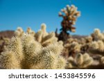 Teddy Bear Cholla Or Jumping...