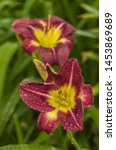 Blooming Daylily  Night Beacon...