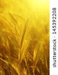 golden sunny ear at sunset ... | Shutterstock . vector #145392208