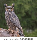 A Great Horned Owl (Bubo virginianus) looking at the camera in the rain.  - stock photo