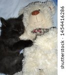 Stock photo the kitten is sleeping next to the teddy bear cute black fluffy kitten sleeps with a soft toy 1454416286