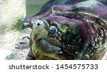 Stock photo alligator tortoise macrochelys temminckii seen in detail it is the largest freshwater tortoise 1454575733