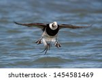 A Long Tailed Duck Flares Its...