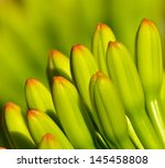 Small photo of Magnificent cluster of flower buds of plant agave fourcroydes on unfocused natural background greenish