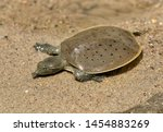 Hatchling Spiny softshell turtle (Apalone spinifera) floating above  sand creek bottom, Ledges State Park, Iowa.