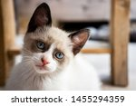 Stock photo white kitten looking in front 1455294359